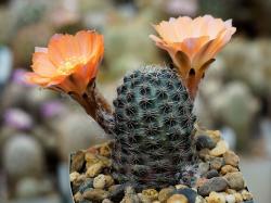 Mediolobivia pygmaea 'haagei' VG 626