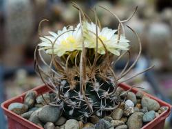 Navajoa peeblesiana ssp. fickeisenii