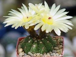 Notocactus alamoensis PR 235