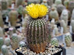 Notocactus mueller-melchersii LB 668