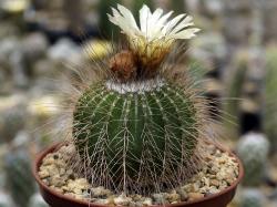 Notocactus nigrispinus P 454