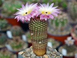 Notocactus rutilans