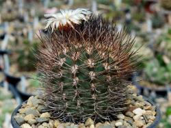 Pyrrhocactus bulbocalyx v. marayensis GN 1113/4138