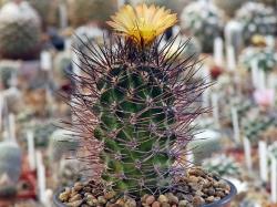 Pyrrhocactus straussianus R 542