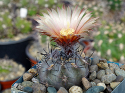 Pyrrhocactus vertongenii HV 355