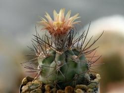 Pyrrhocactus villicumensis TK 209