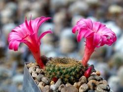 Rebutia senilis v. lilacinorosea