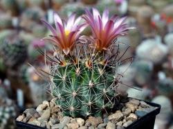 Sclerocactus nyensis RP 137
