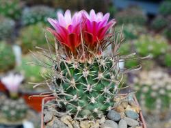 Sclerocactus schlesseri