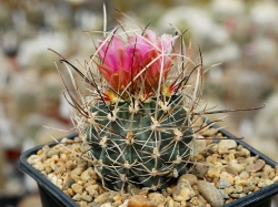 Sclerocactus
