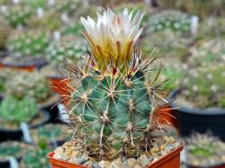 Sclerocactus wrightiae HK 1336