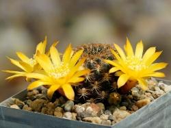 Sulcorebutia arenacea HS 30