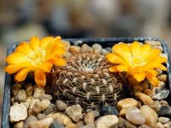 Sulcorebutia arenacea LH 1393