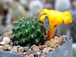 Sulcorebutia arenacea v. kamiensis L 974