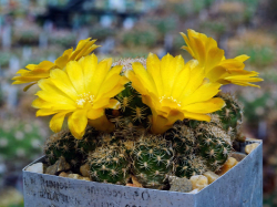 Sulcorebutia breviflora LH 1259