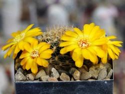 Sulcorebutia breviflora v. haseltoniana