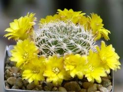 Sulcorebutia breviflora WR 198