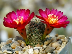 Sulcorebutia fischeriana VS 462