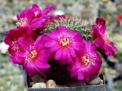 Sulcorebutia tiraquensis v. bicolorispina VS 377