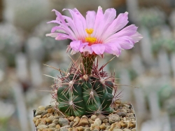 Thelocactus bicolor PAN 194